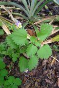 Annual nettle, Urtica urens