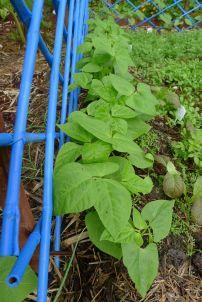 Climbing bean, Phaseolus vulgaris 'Epicure'