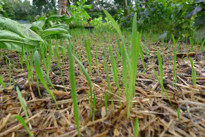 Common oat, Avena sativa