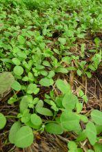 Fenugreek, Trigonella foenum-graecum