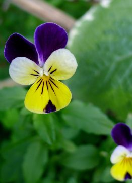 Heartsease, Viola tricolor 'Johnny Jump Up'