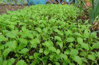 Kohl Rabi 'Purple Vienna' seedlings, Brassica oleracea (Gongyloides group)