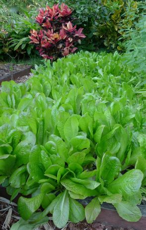 lettuce, Lactuca sativa 'First Fleet'