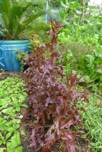 Lettuce, Lactuca sativa 'Purple Royal Oakleaf'