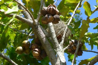 Macadamia integrifolia first crop on seven year old seedling grown from seed collected at Ormiston House, Qld. The original tree was the second to be planted by settlers (the first was planted in Brisbane botanic gardens).