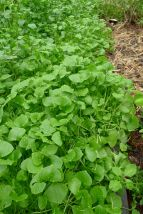 Miner's lettuce, Claytonia perfoliata (syn. Montia perfoliata)
