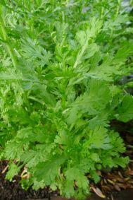 Shungiku, aka edible chrysanthemum, Chrysanthemum coronarium
