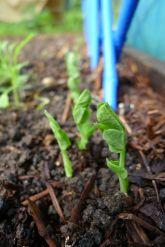 Snowpea, Pisum sativum 'Oregon Sugar Pod'