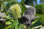 Street trees. I wanted my Wallum banksia, Banksia aemula, to be one of the first flowers to greet visitors