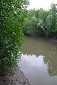 Mangrove by Cairns airport