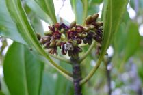 Ceriops australis, Cairns
