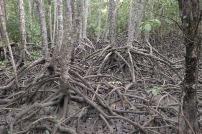 Large-leafed orange mangrove, Bruguiera gymnorhiza, Cairns