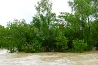Mangrove palm, Nypa fruticans. Sundarban National Park, Bangladesh. This species is widespread, also occurring in tropical Australian mangroves