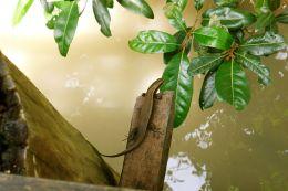 Mangrove lizard, Sundarban National Park, Bangladesh