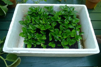 8 week old Pomelo seedlings, Citrus grandis, ready for potting up