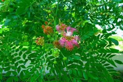 The most transformational tree I encountered in Port Moresby: Rain tree (Albizia saman)