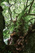 Rain tree, Albizia saman, clothed by the basket fern, Drynaria rigidula