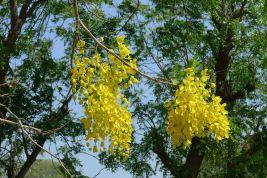 Tough trees please: golden shower, Cassia fistula