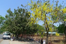 Tough trees please: golden shower, Cassia fistula