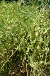 Chickpea, Cicer arientinum