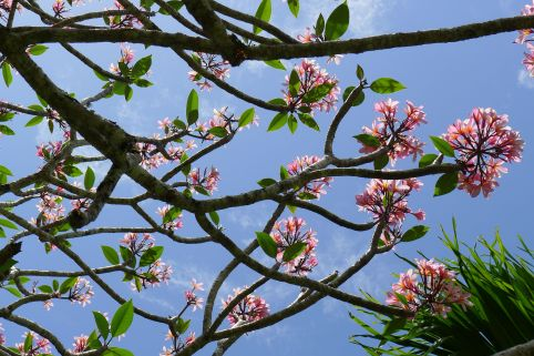 Frangipani look brilliant when deciduous and in bloom, Plumeria rubra