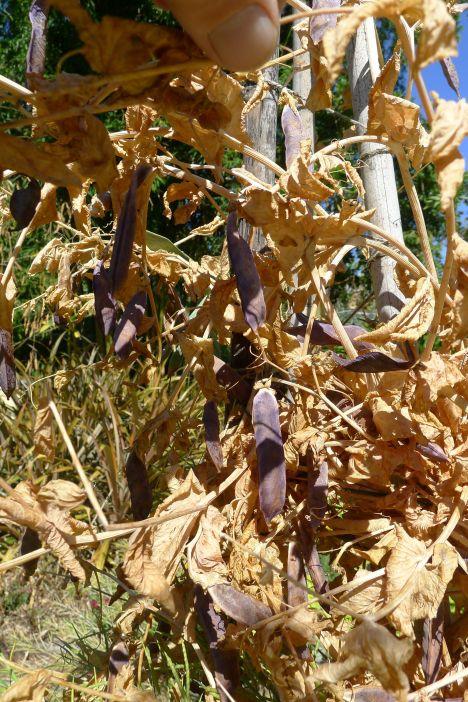 Garden pea 'Dutch Purple Podded'