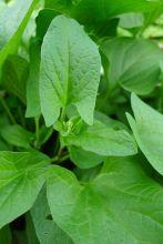 Good King Henry, aka Lincolnshire spinach, Chenopodium bonus-henricus