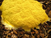 Fully emerged and solidifying: Fuligo septica, dog's vomit slime mould in woodchip mulch