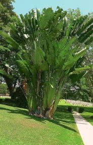 Strelitzia nicolai succeeds well - more should be planted