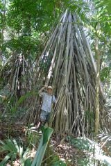 Titanic Pandanus 'constructions' straddle waterways, making them impenetrable