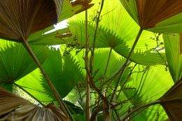 Licuala grandis (Native to Vanuatu & the Solomon Islands). Nature Park