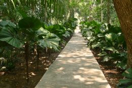 Licuala grandis walk. Nature Park