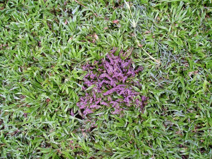 Physarum gyrosum emerging from my lawn in summer
