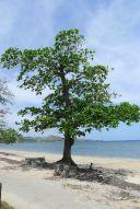 Sea almond, Terminalia catappa, Ela Beach