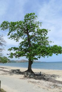 Sea almond, Terminalia catappa, Ela Beach