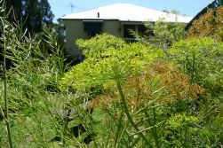 October in subtropical Brisbane: seed production in full swing