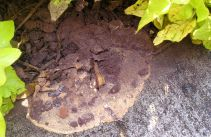Half blown away: Fuligo septica, dog's vomit slime mould