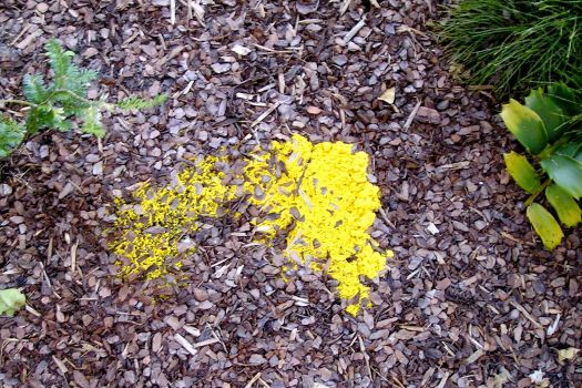 Early signs: soft, moist and emerging to greet the evening, Fuligo septica, dog's vomit slime mould