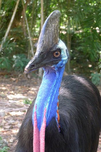 Very much at home: Southern cassowary, Casuarius casuarius. Nature Park