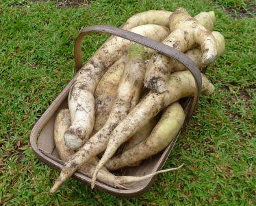 12kg of Daikon or Japanese radish, Raphanus sativus var. longipinnatus 'Long White'. What to do with them? Think carrot...