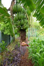 banana 'Dwarf Ducasse'