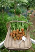 950g per metre row: Carrot, Daucus carota 'Paris Market' is the best for the subtropics