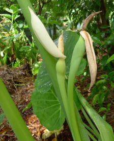 Celery stem taro in bloom