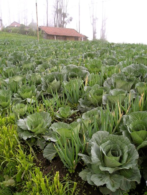Cemoro Lawang: spring onions and cabbage.