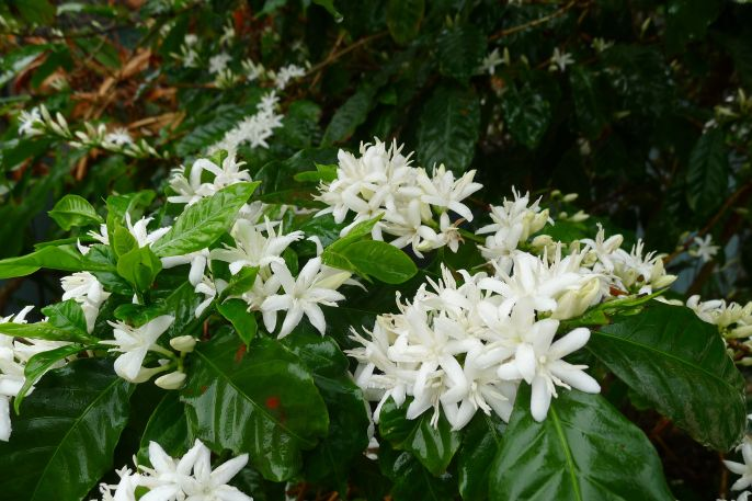 Coffee, Coffea arabica 'First Fleet' - keeps the blue-banded bees and honeybees busy