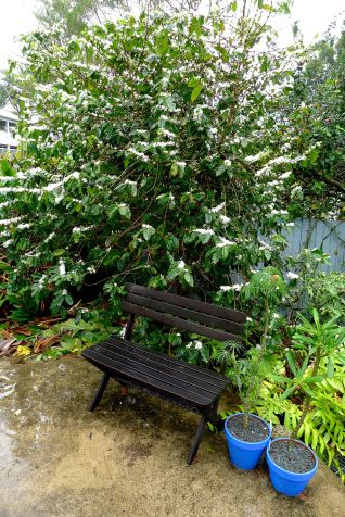 Coffee, Coffea arabica 'First Fleet' - fills the garden with the scent of jasmine