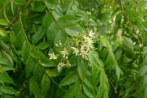 Curry leaf tree: useful but weedy. Don't dead head until the seeds are fully formed and green. If you prune flowers off now they will just bloom again.