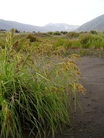 Flowering clump of sedge (Cyperus sp.) in the Tengger Crater.