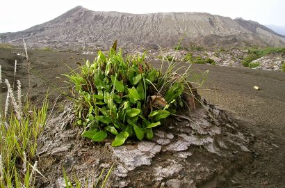 Pyrrosia, a photogenic species of fern that colonises trunks and rocks. The Sea of Sand, Tengger Crater, with Gunung (Mt) Bromo to rear.