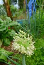 spring onion